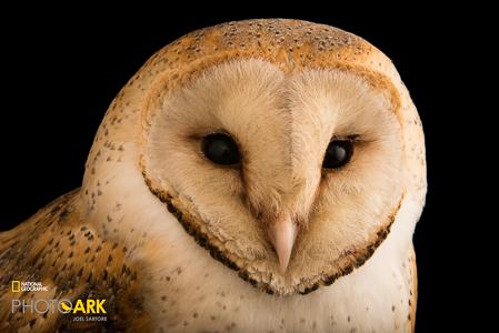 european-barn-owl-tyto-alba-at-parco-natura-viva-in-bussolengo-italy