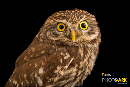 little-owl-athena-noctua-at-parco-natura-viva-in-bussolengo-italy